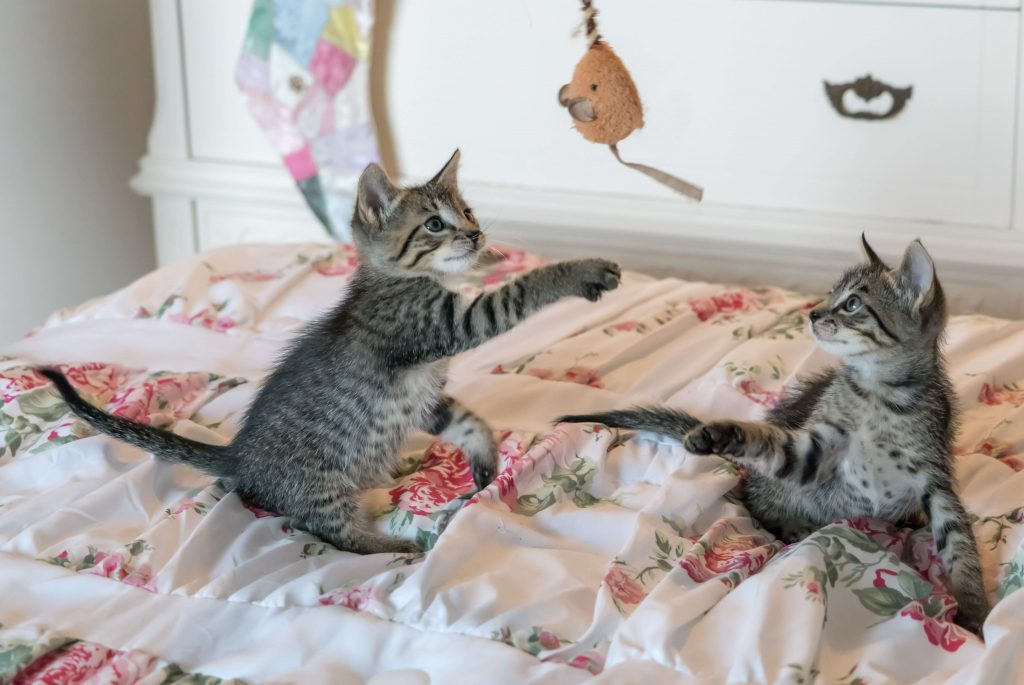 kittens playing with toys