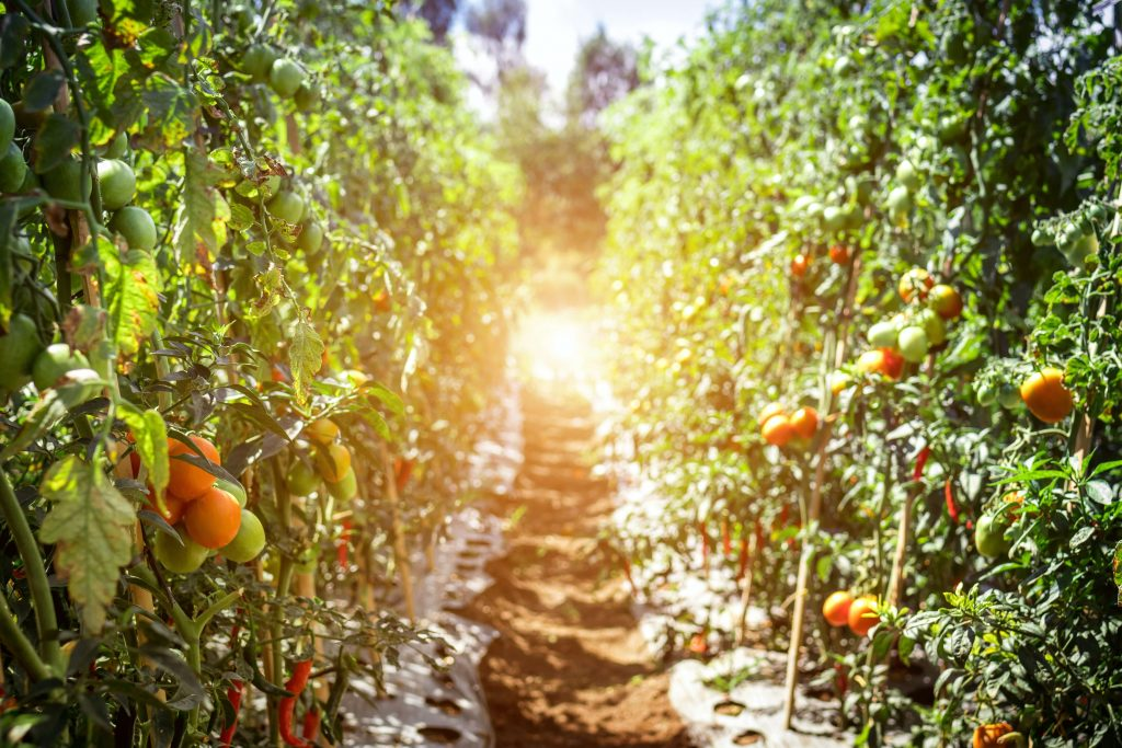 path through an orchard with hanging fruit